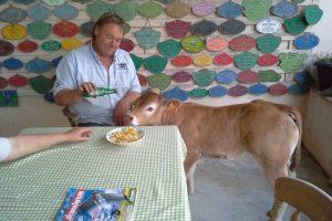 Bazadaise cow