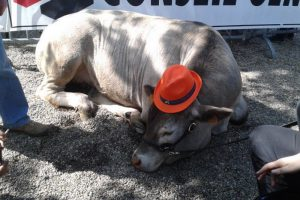 Bazadaise cow wearing a hat
