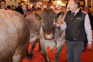 Bazadaise cow at the Salon de l'Agriculture, Paris