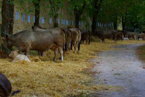 Bazadase cattle