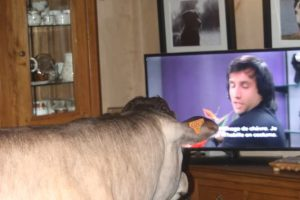 Bazadaise cow watching TV!