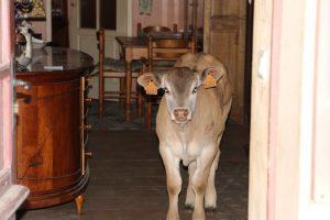 Bazadase calf