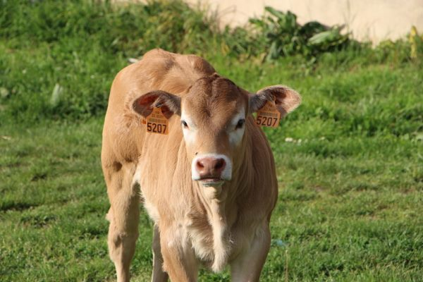 about bazadaise calves